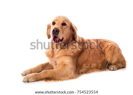 Golden Retriever dog isolated on a white background #754523554