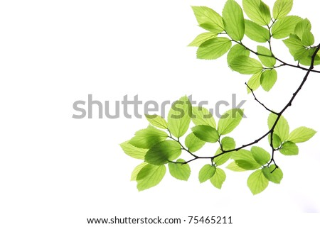Green leaves isolated on white background #75465211