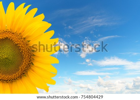 Sunflower with blue sky background. with copy space for your text message #754804429