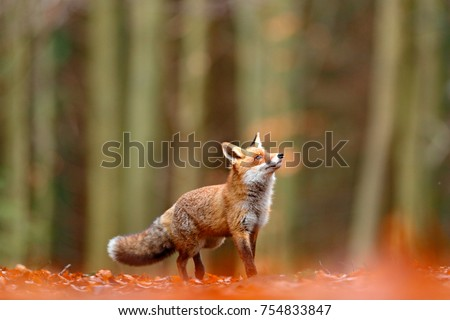 Cute Red Fox, Vulpes vulpes in fall forest. Beautiful animal in the nature habitat. Wildlife scene from the wild nature. Red fox running in orange autumn leaves.  #754833847