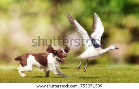 English Springer Spaniel dog chasing large Snow Goose in open field #755071309
