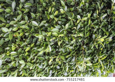 Background of Green Banyan Tree or Ficus Annulata Plants #755217481