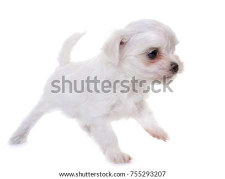 puppy maltese dog in front of white background #755293207