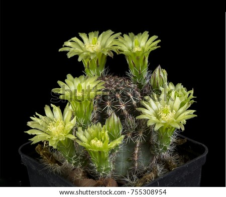 Close up of a Cactus in a pot , with flowers isolated in a black background #755308954