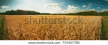 Panoramic landscape with golden wheat field at summer day. Agricultural background #755467780