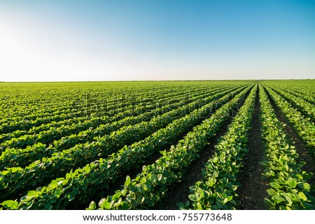 Green ripening soybean field, agricultural landscape Royalty-Free Stock Photo #755773648