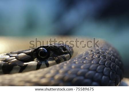 Snake (Natrix Natrix) resting in the warmth #75589675