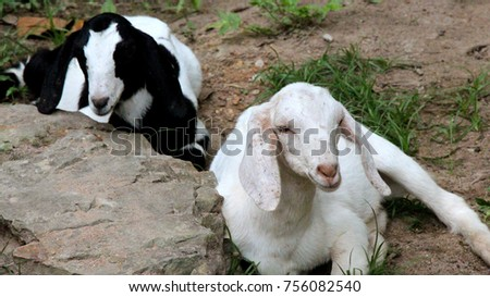 two goats butt standing on stone #756082540