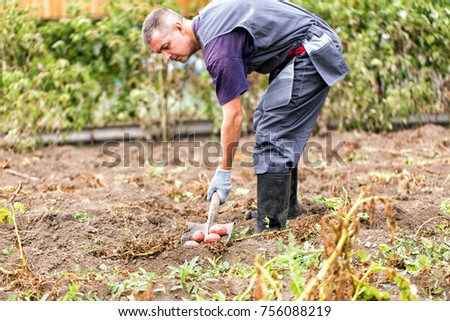 Farmer digs potatoes in the garden #756088219