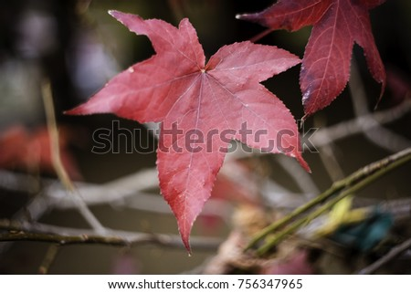 Close up of red maple leaf #756347965