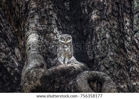 The spotted owlet is a small owl which breeds in tropical Asia from mainland India to Southeast Asia. A common resident of open habitats including farmland and human habitation,