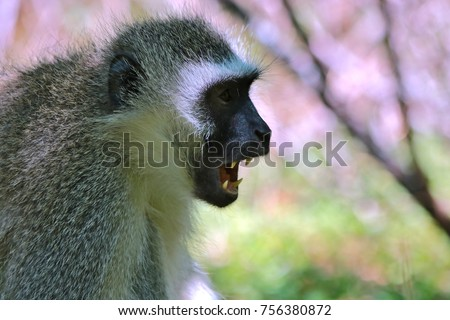 Male vervet monkey (Chlorocebus pygerythrus) with mouth half open #756380872