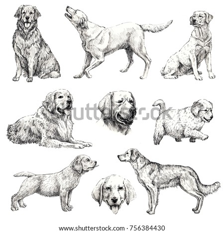Set of hand drawn ink dogs sketches. Retriever, labrador. Vintage ink animals illustration. Isolated on white