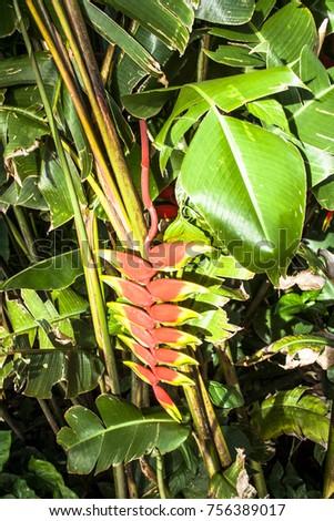 Heliconia flower in Brazil #756389017