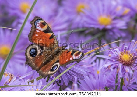 In a very colorful beautiful picture a butterfly is watching on an aster amellus.
