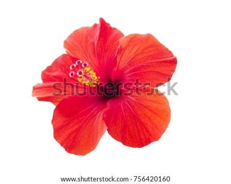Red hibiscus flower isolated on white background. #756420160