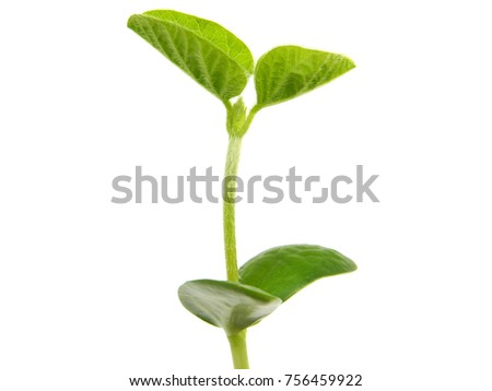 Young soybean plant isolated on white, Glycine max #756459922