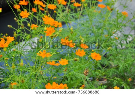 Spring background with beautiful yellow and orange flowers. #756888688