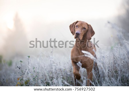 Photo of Hungarian hound dog in freezy winter time Royalty-Free Stock Photo #756927502