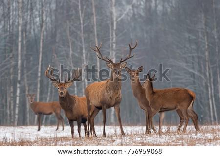 Red Deer Stag In Winter. Winter Wildlife Landscape With Herd Of Deer (Cervus Elaphus). Deer With Large Branched Horns On The Background Of Winter Forest.  Stag Close-Up, Artistic View. Trophy Deer