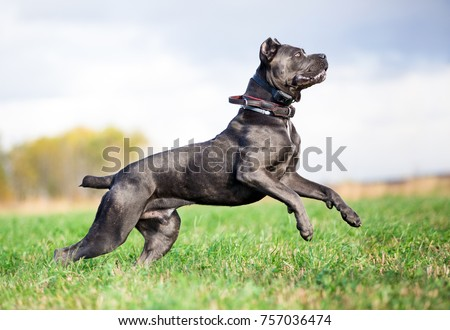 grey Cane Corso dog playing in field #757036474