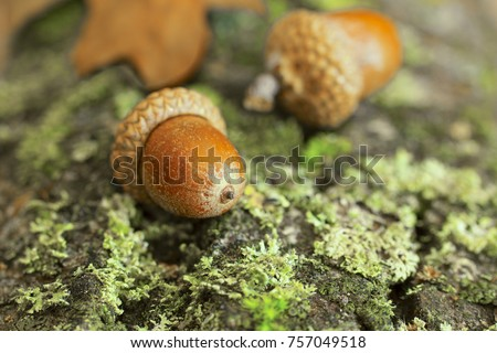 Background with autumn acorns and leaves closeup. Acorns macro. Acorns on the bark of a tree covered with moss. Royalty-Free Stock Photo #757049518