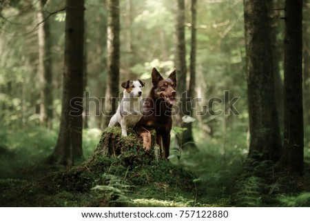 Jack Russell Terrier and Kelpie. two dogs together, friendship. Pets outdoors on the nature in the forest. #757122880