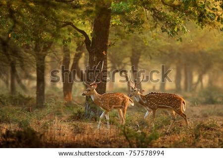 Chital or cheetal, Axis axis, spotted deers or axis deer in nature habitat. Bellow majestic powerful adult animals. Royalty-Free Stock Photo #757578994