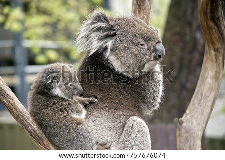 the koala and joey are resting in a tree branch #757676074