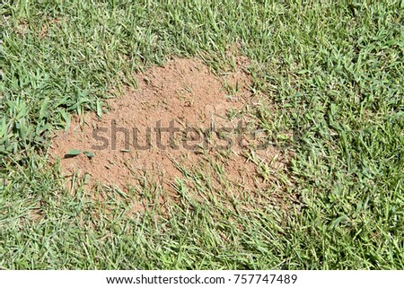 fire ant hill in grass close up looking down