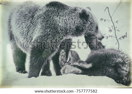 Brown Bears (Ursus arctos) in Lake Clark National Park, Alaska, USA #757777582