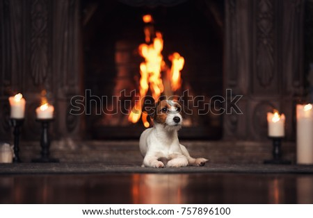 Jack Russell Terrier dog lies by the fireplace