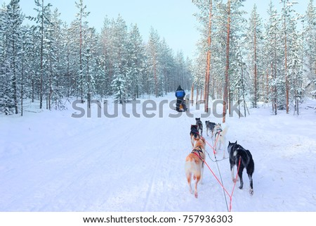 Person riding husky dogs sledge in Rovaniemi, Lapland in winter Finnish forest #757936303
