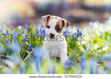 white Jack Russell Terrier puppy sitting among blue flowers in summer Royalty-Free Stock Photo #757946224
