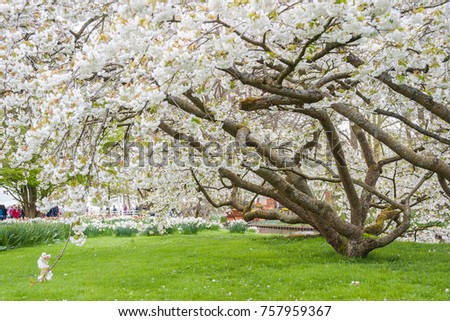 Spring view of Keukenhof park, tulip and cherry flowers. Beautiful landscape, selective focus #757959367
