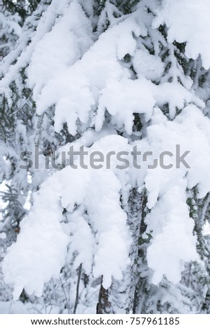 Pine Tree in Winter #757961185