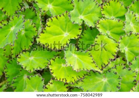 Begonia leaves background #758042989