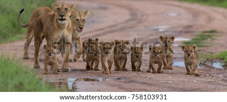 A large group kittens of lion (cub of lion)  and lioness (female of lion) are moving on savanna's road. It is a good illustration on soft light which shows wild life and natural habitat. #758103931