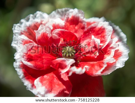 decorative red poppy with white border on petals close-up #758125228