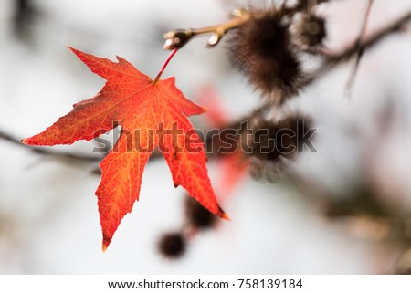 Red Maple Leaf on Branch #758139184