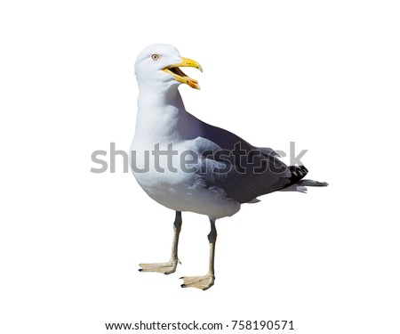 Seagull isolated on white background Royalty-Free Stock Photo #758190571