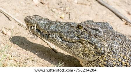 Crocodile Head Shot #758234284