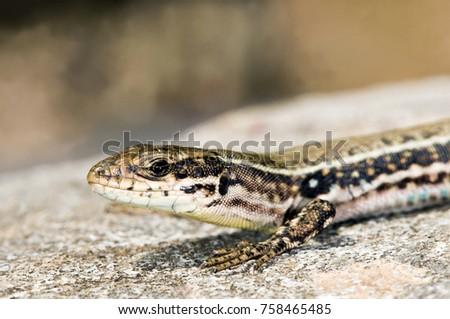 Cretan Wall Lizard (Podarcis cretensis), Crete #758465485