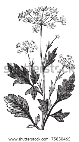 Anise or Anis or Aniseed or Pimpinella anisum vintage engraving.  Old engraved illustration of Anise seed #75850465