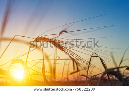 Beautiful agriculture sunset landscape. Ears of golden wheat close up. Rural scene under sunlight. Summer background of ripening ears of landscape. Growth nature harvest. Wheat field natural product #758522239