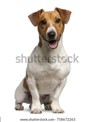 Jack Russell Terrier, 12 months old, sitting in front of white background Royalty-Free Stock Photo #758672263