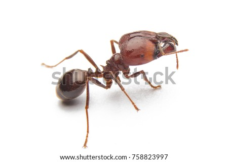 Red ant isolated on white background.
