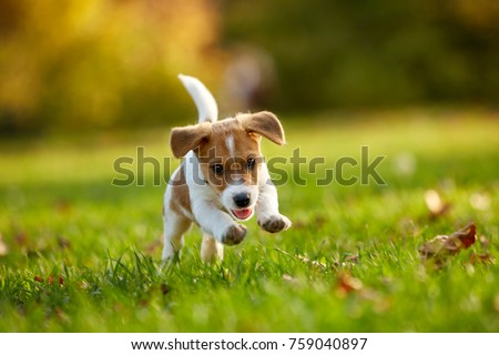 Dog breed Jack Russell Terrier playing in autumn park #759040897