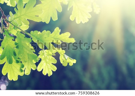 Green oak leaves on a branch in the sunlight #759308626
