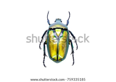 Beetles / Insects : Gold flower beetle ( Rhomborhina resplenders) Selective focus, isolated on white background Royalty-Free Stock Photo #759335185